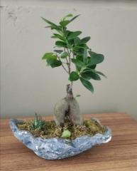 Bonzai saksı bitkisi